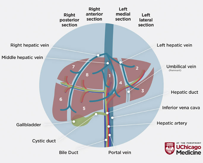 illustration of parts of the liver, hepatobiliary system