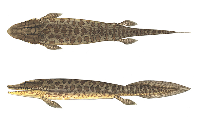 Tiktaalik reconstruction