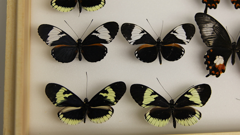 Heliconius cydno butterflies (Photo: Kat Carlton)