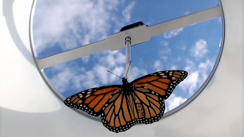 A monarch butterfly is tested in a flight chamber to determine its ability to orient south, which helps determine its ability to migrate in the winter.