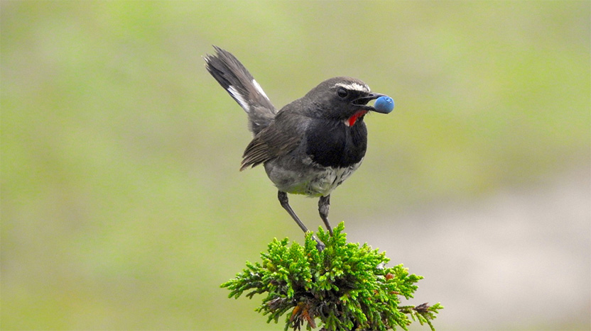 A Himalayan rubythroat (Calliope pectoralis) carries a juniper berry at 4600m in the Paddar Valley in Kishtwar, Jammu and Kashmir, India. Photo credit: Suresh Kumar Rana