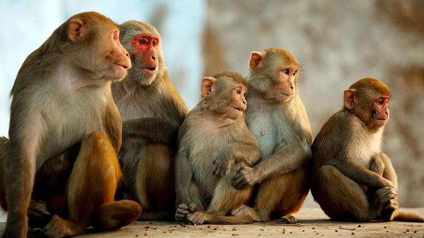 Rhesus macaque family