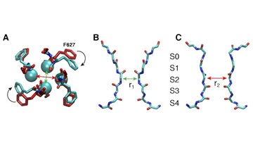 The spontaneous asymmetric constriction of the hERG channel's selectivity filter, as revealed by molecular dynamics simulations.