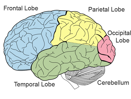 Brain Structure Diagram