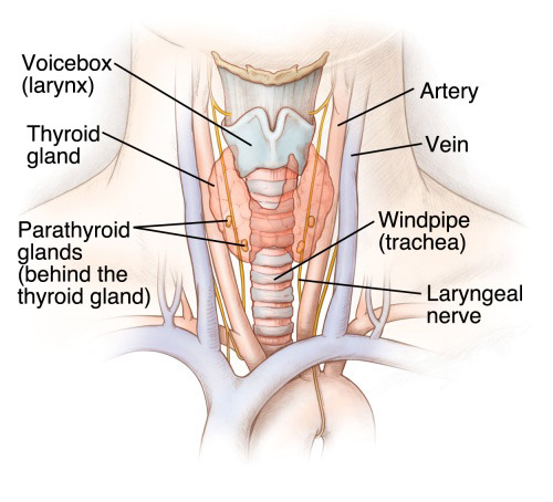 Thyroid Disease Symptoms Diagnoses Treatment Uchicago Medicine