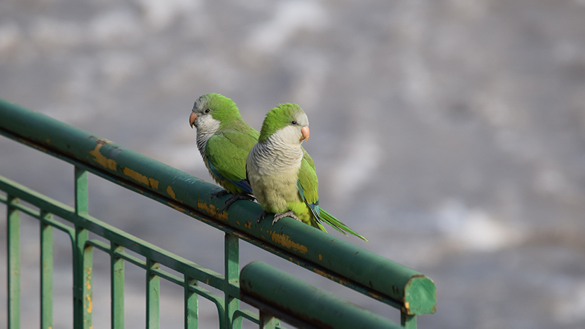 Monk parakeets in Hyde Park, Chicago