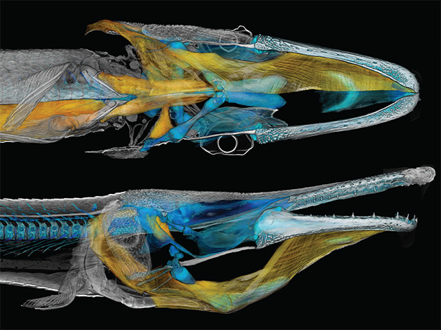 Alligator gar CT scan