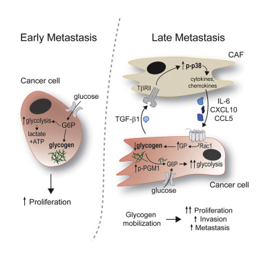 Fibroblasts Mobilize Tumor Cell Glycogen to Promote Proliferation and Metastasis