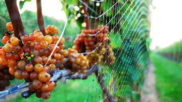 grapes-on-vine feed